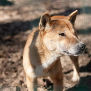 Good Names for New Guinea Singing Dogs