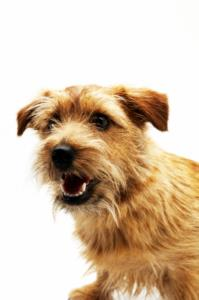 Good Names for Norfolk Terriers
