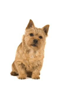 Norwich Terrier Temperament & Personality