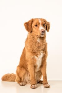 Nova Scotia Duck Tolling Retriever Temperament & Personality