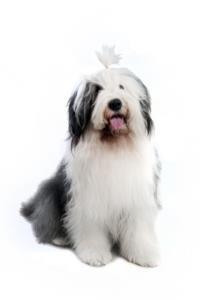 Old English Sheepdog Temperament & Personality
