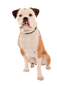 Olde English Bulldogge Temperament & Personality
