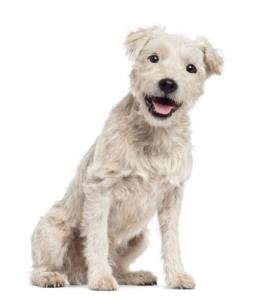 Parson Russell Terrier Temperament & Personality