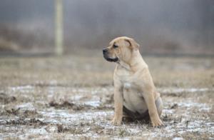 Perro de Presa Mallorquin Temperament & Personality