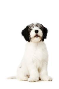 Polish Lowland Sheepdog Temperament & Personality