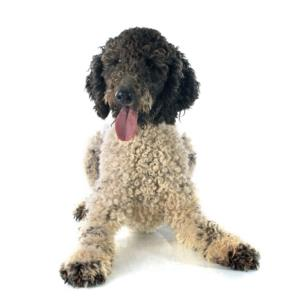 Training a Portuguese Water Dog