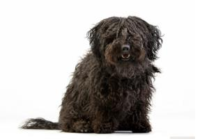 Puli Dog Breed Characteristics
