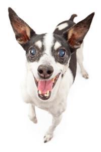 Rat Terrier Dog Breed Characteristics