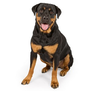 Rottweiler Dog Breed Characteristics