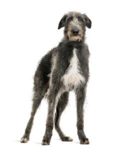 Scottish Deerhound Temperament & Personality