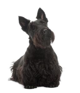 Scottish Terrier Dog Breed Characteristics