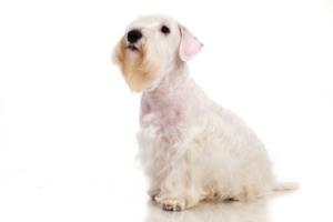 Training a Sealyham Terrier