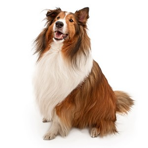 Training a Shetland Sheepdog