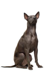 Thai Ridgeback Dog Breed Characteristics