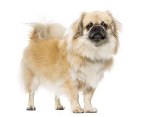 Tibetan Spaniel Guard Dog & Watch Dog Ability