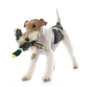 Training a Toy Fox Terrier