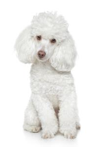 Toy Poodle Dog Breed Characteristics