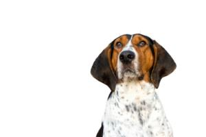 Training a Treeing Walker Coonhound