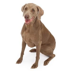 Weimaraner Dog Breed Characteristics