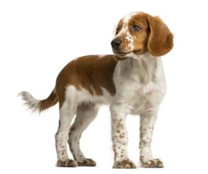 Training a Welsh Springer Spaniel