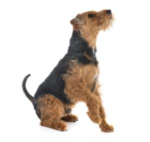 Welsh Terrier Guard Dog & Watch Dog Ability
