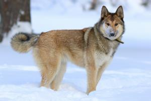 West Siberian Laika Temperament & Personality