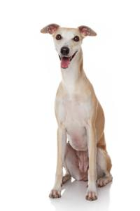 Whippet Behaviour Traits & Problems
