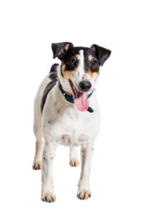 Wire Fox Terrier Temperament & Personality
