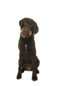 Training a Wirehaired Pointing Griffon