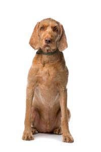 Training a Wirehaired Vizsla