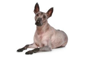 Xoloitzcuintli Dog Breed Characteristics