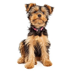 Yorkshire Terrier Guard Dog & Watch Dog Ability